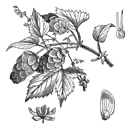 dioecious: Old engraved illustration of Common hop, leaves and flowers isolated on a white background.