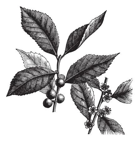 hojas antiguas: Ilustración del Antiguo grabado de América Winterberry, aislado en un fondo blanco.