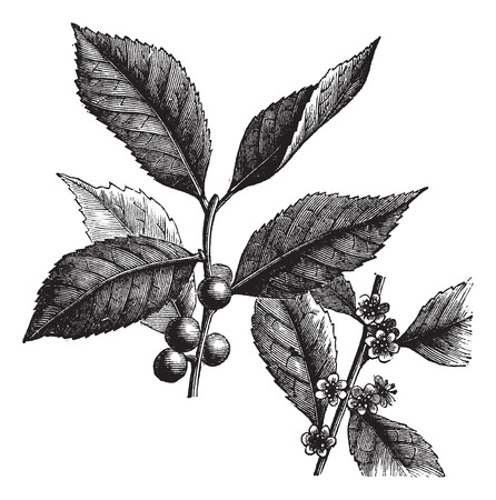 alder: Old engraved illustration of American Winterberry, isolated on a white background.