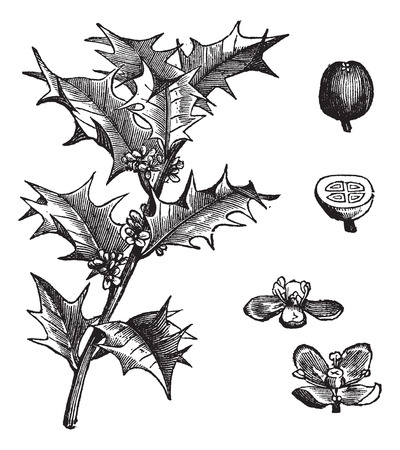 holly leaves: Old engraved illustration of Holly, leaves and fruit isolated on a white background. Illustration