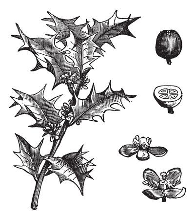 aquifolium: Old engraved illustration of Holly, leaves and fruit isolated on a white background. Illustration