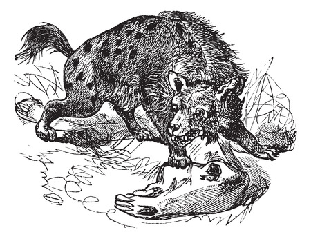 voracious: Old engraved illustration of Spotted Hyena, hunting in the meadow.