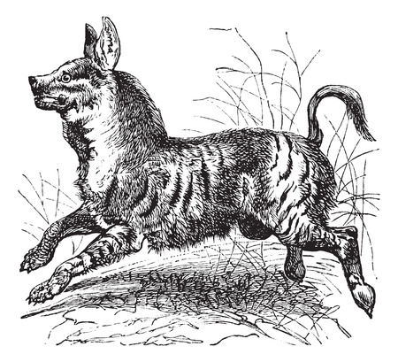 voracious: Old engraved illustration of Striped Hyena, running in the meadow.