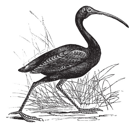 scarlet: Old engraved illustration of Scarlet Ibis, walking in the meadow.