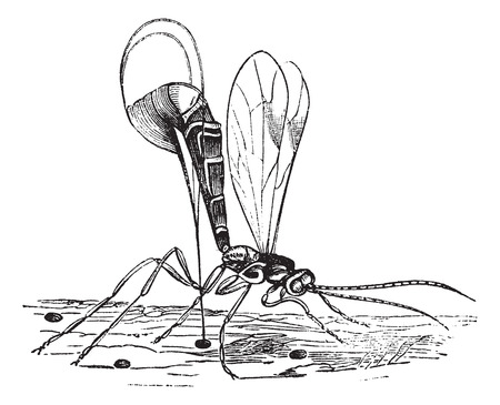 Old engraved illustration of Ichneumon wasp. Vector