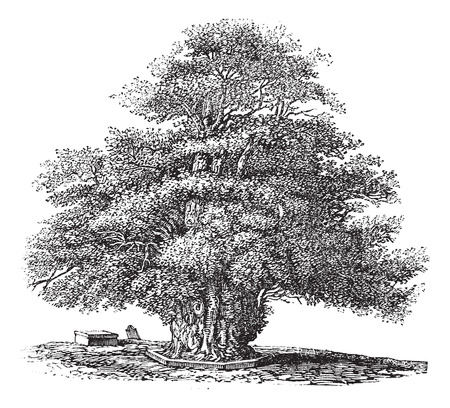 churchyard: Old engraved illustration of Yew tree at St. Helens church. Illustration