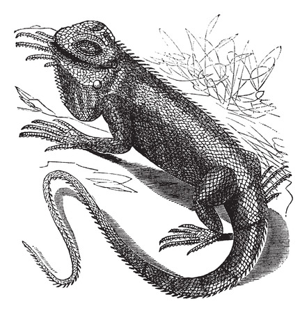 Old engraved illustration of Green Iguana in the meadow.