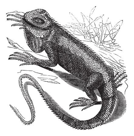 Oude gegraveerde illustratie van Green Iguana in de wei.