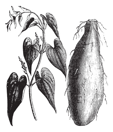 yam: Old engraved illustration of Purple Yam isolated on a white background.