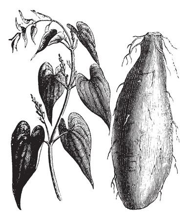 sweetened: Old engraved illustration of Purple Yam isolated on a white background.