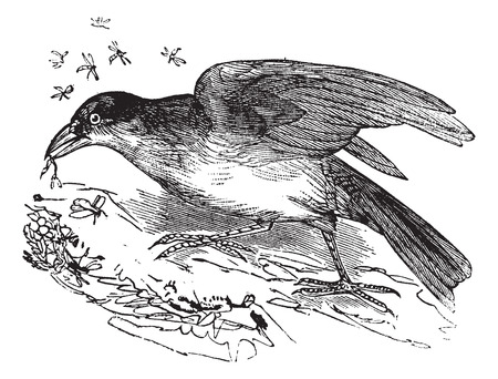 greater: Old engraved illustration of Greater Honeyguide, eating a flying insect.