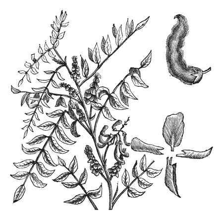 Fabaceae: Old engraved illustration of True indigo isolated on a white background.
