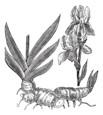 Old engraved illustration of Orris root isolated on a white background.