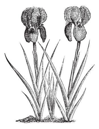 Old engraved illustration of Mourning Iris.