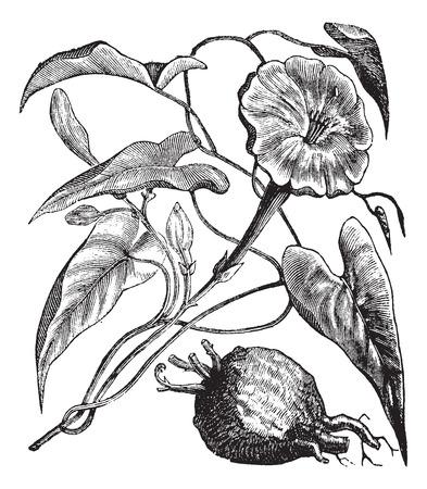 poison: Old engraved illustration of Exogonium purga isolated on a white background.