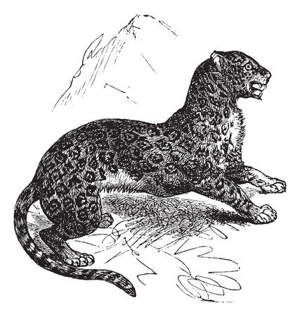 Old engraved illustration of Jaguar, watchful in the meadow.