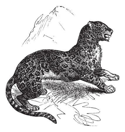 felidae: Old engraved illustration of Jaguar, watchful in the meadow.
