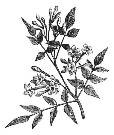 jasmine: Old engraved illustration of Common Jasmine isolated on a white background.