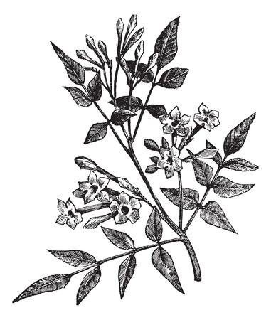 Old engraved illustration of Common Jasmine isolated on a white background.