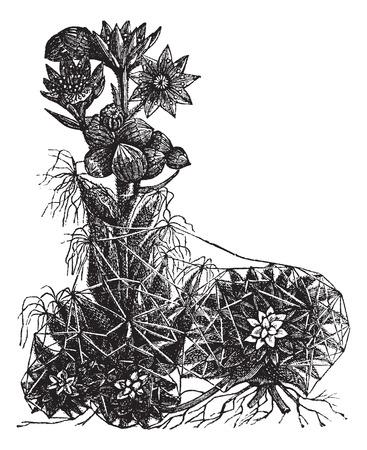 cobweb: Old engraved illustration of Cobweb houseleek isolated on a white background.