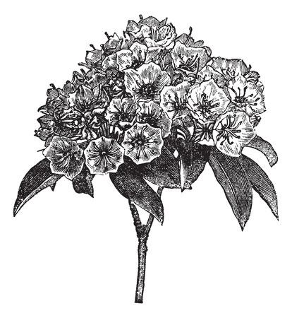 calico: Old engraved illustration of Kalmia latifolia isolated on a white background. Illustration