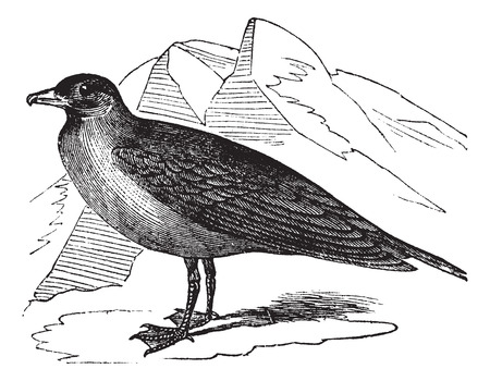 seabird: Old engraved illustration of cataracts Stercorarius. Illustration