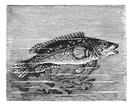 tropical fresh water fish: Old engraved illustration of Labrus maculatus.