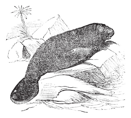 manatee: Old engraved illustration of beautiful florida manatee.