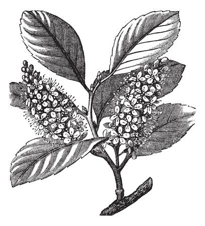 cherry laurel (Prunus laurocerasus) or Cherry laurel or English laurel, vintage engraved illustration Illustration