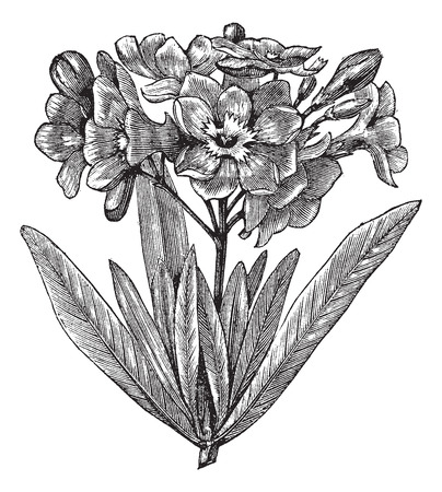 laurier rose: Lauriers roses commune (Nerium oleander), mill�sime grav� illustration