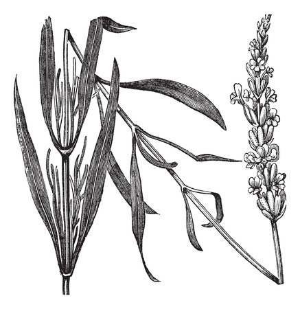 lavender flower: Common Lavender or Lavandula angustifolia or True Lavender or narrow-leaved lavender or English lavender, vintage engraved illustration