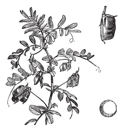 Cultivated lentil (Lens Ervum), vintage engraved illustration