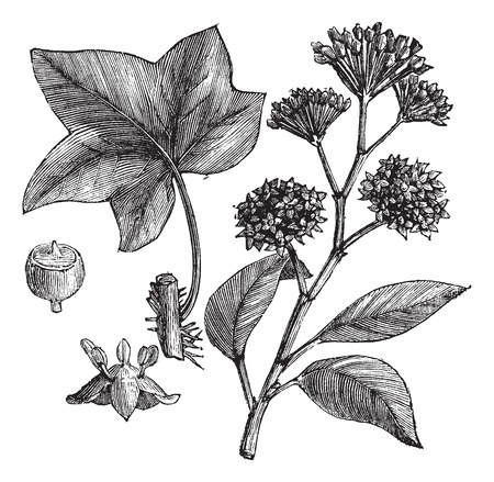 ivy vine: English ivy (Hedera helix) or Common ivy vintage engraved illustration. Trousset encyclopedia (1886 - 1891).