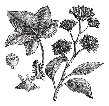 ivy vine: English ivy (Hedera helix) or Common ivy vintage engraved illustration. Trousset encyclopedia (1886 - 1891).