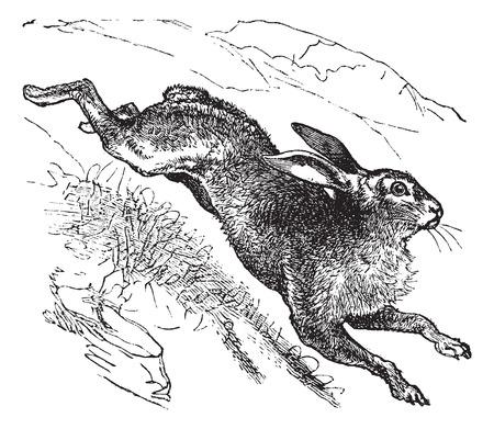 liebre: Liebre (Lepus timidus) o Azul Hare o Tundra Hare Hare o variable o White Hare o Alpine Hare Hare o irland�s del vintage grabado ilustraci�n. Trousset enciclopedia (1886 - 1891).