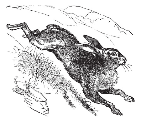 tundra: Mountain Hare (Lepus timidus) or Blue Hare or Tundra Hare or Variable Hare or White Hare or Alpine Hare or Irish Hare vintage engraved illustration. Trousset encyclopedia (1886 - 1891).