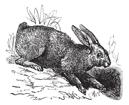 varying: Northern hare (Lepus americanus) or Snowshoe Hare or Varying Hare vintage engraved illustration Illustration
