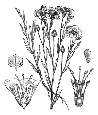 Gemeenschappelijke vlas of lijnzaad of Linum usitatissimum vintage gegraveerde illustratie