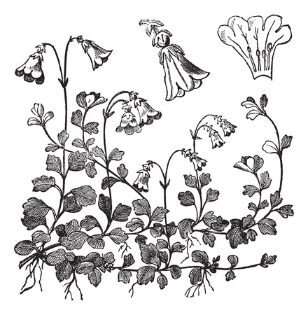 Linnaea borealis or Twinflower, vintage engraved illustration