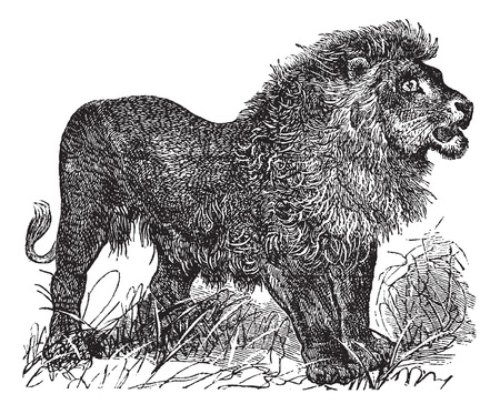 dessin noir et blanc: African Lion mill�sime grav� illustration Illustration
