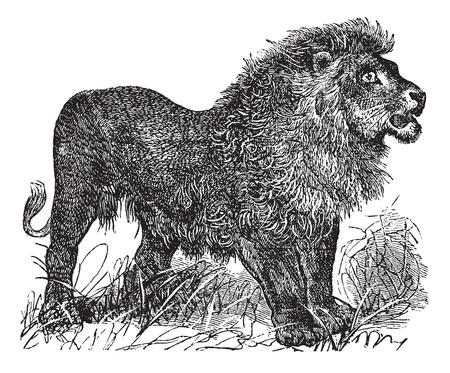 gato dibujo: Cosecha ilustración grabada león africano