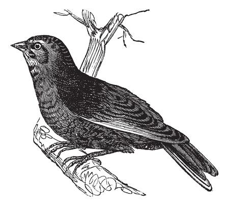 passerine: Linnet (Carduelis cannabina, vintage engraved illustration