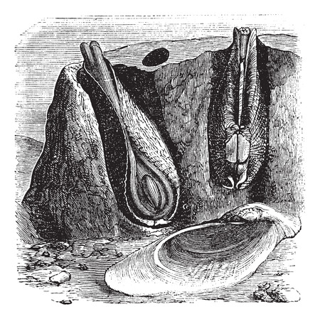 mollusca: Old engraved illustration of Common Piddock in the Gneiss.