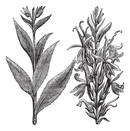Old engraved illustration of Cardinal Flower isolated on a white background. Ilustração