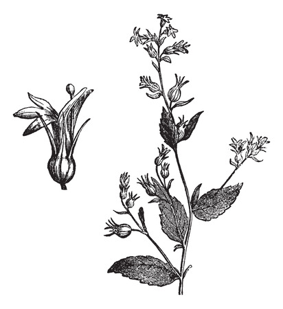 lobelia: Old engraved illustration of Indian Tobacco isolated on a white background.