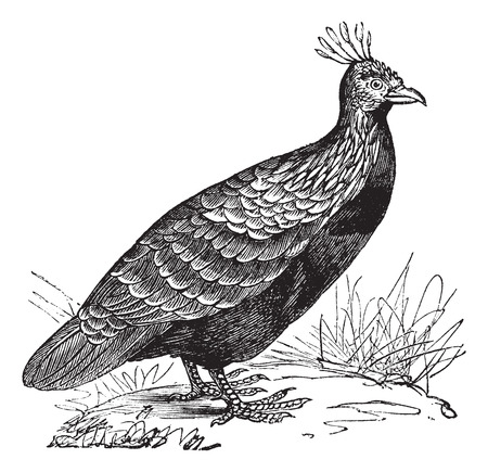 phasianidae: Old engraved illustration of Himalayan Monal (Male) in the meadow.