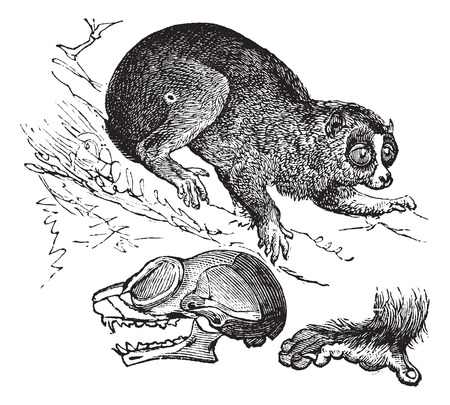 arboreal: Old engraved illustration of Bengal slow loris with cranium and foreleg in front.