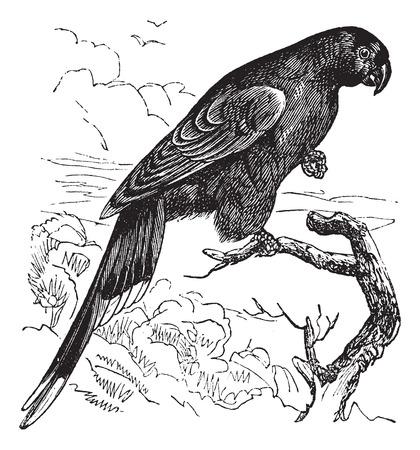 ornithology: Old engraved illustration of Papuan Lorikeet waiting on a branch. Illustration