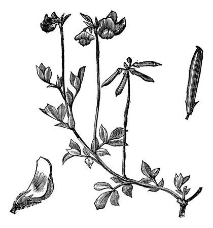 trefoil: Old engraved illustration of Birds-foot Trefoil isolated on a white background.