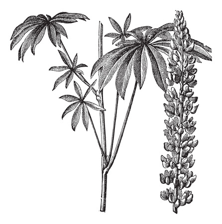 Old engraved illustration of Large-leaved lupine isolated on a white background.